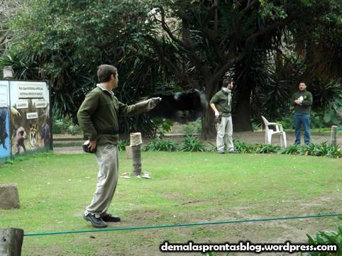 Tratadores do zoo treinam urubu...